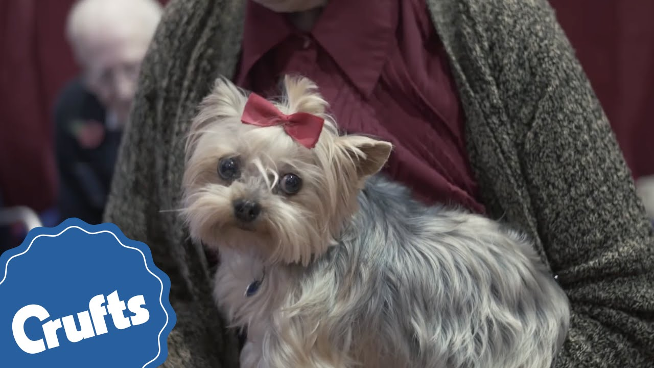 Yorkshire Terrier Crufts Breed Information Youtube