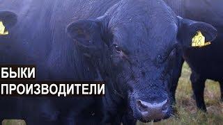 БЫКИ-ПРОИЗВОДИТЕЛИ И БЫКИ НА ОТКОРМ. КФХ Александра Москвина