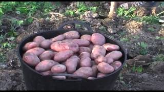 Recogiendo patatas