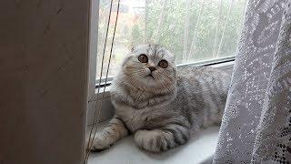 Что Делает Кошка пока Хозяйка в Душе? 😻 Мяуканье Кошки Хлои 🐱 Kitten Cat  scottish fold