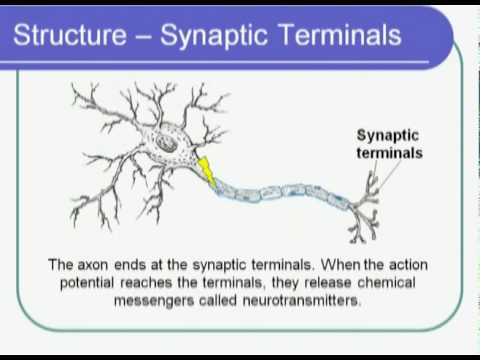Biological sciences neuron structure youtube biological sciences neuron structure ccuart Images