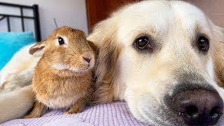 Dog Hugs Pregnant Rabbit  Amazing Friendship