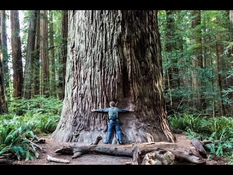 Giant Redwood Trees in Muir Woods - Hiking and Commentary
