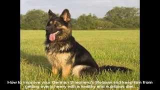 King German Shepherd Breed