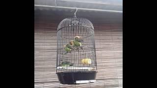 Lovebird dijual