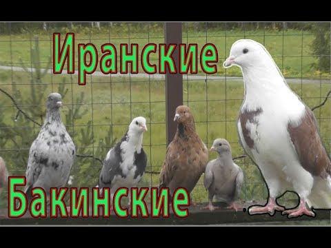 Бакинские ,Иранские голуби, Николая(Москва)