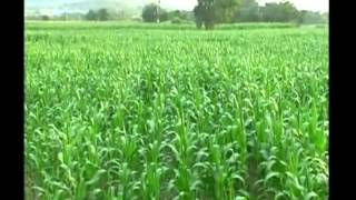 Know how to earn better profit from baby corn cultivation