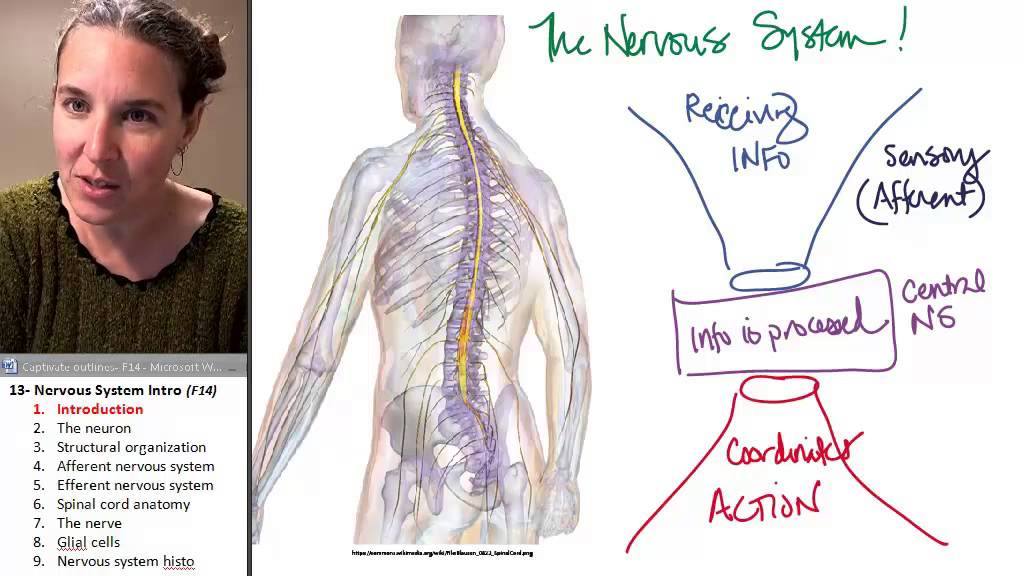 Nervous system 1- Introduction - YouTube