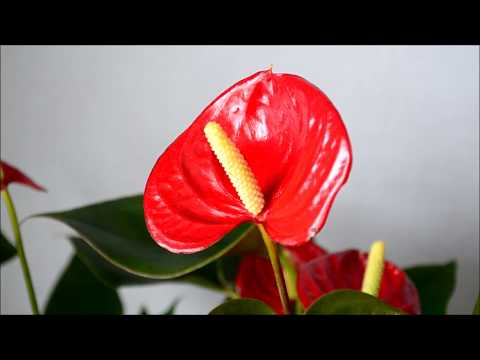 Мужское счастье - Антуриум андрианум красный цветок