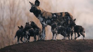 Rare African Painted Dog Pups Make First Appearance Trying to Keep up with Mom thumbnail