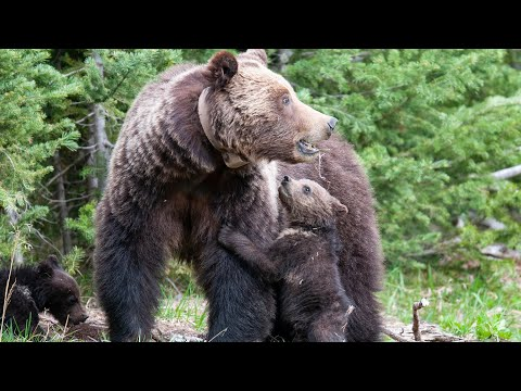 A Yellowstone Grizzly Bear, 815, aka Obsidian Sow or Mini Mom, and her Adorable New Cubs.