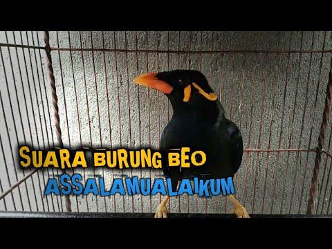 Suara Burung Beo Assalamualaikum