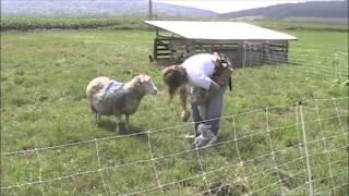 Pasture Lambing Skills