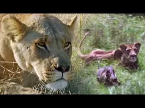 Hunting Lesson | Wildlife Specials: Lions | Spy in the Den | BBC Earth
