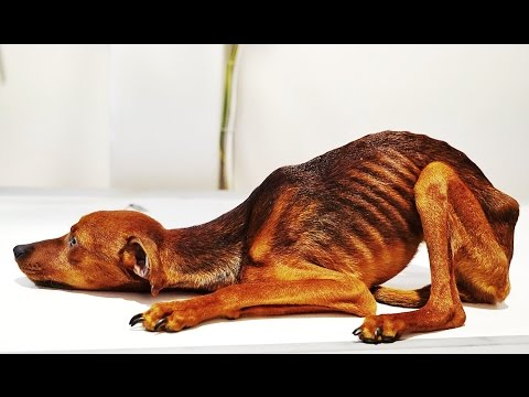 DOG RESCUED WITH EXTREME STARVATION AND NEGLECT! HELP US SAVE HIM!