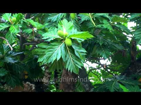 Breadfruit tree growing in Andaman & Nicobar Islands