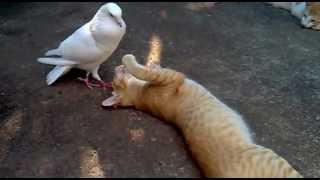 Pigeon (Dove) Attacked The Cat