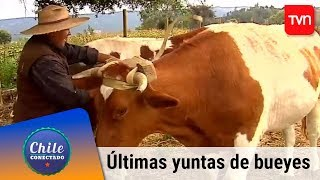 Las últimas yuntas de bueyes | Chile conectado | Buenos días a todos