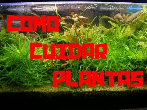 Como cuidar plantas de acuario youtube for Como cuidar las plantas