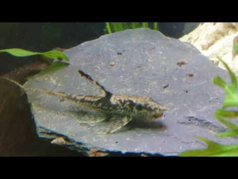 Royal Whiptail Catfish - Sturisoma Panamense