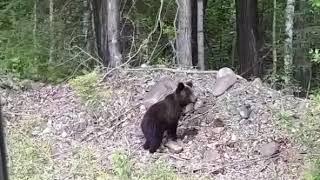 Медведь в п.Солнечный