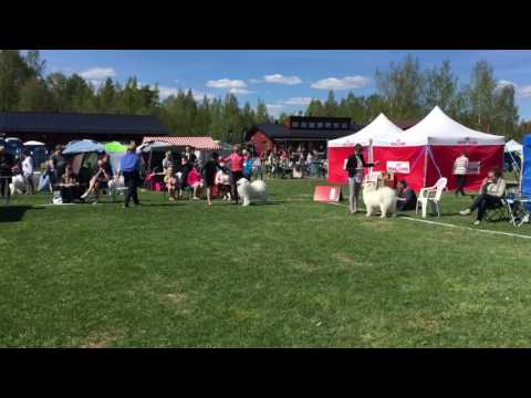 Royal Canin Dog Show 2017 | Helsinki | Samoyed BOB