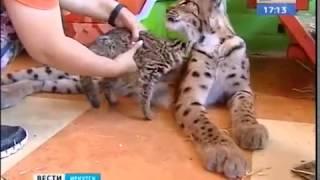 Дальневосточные лесные коты появились в «Сибирском зоопарке» в Иркутске