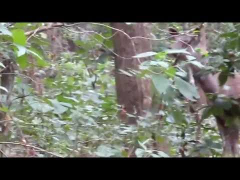 Sambar Deer Alarm Call after seeing a Tiger at Corbett National Park