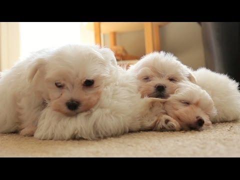 Pile of Sleeping Maltese Puppies