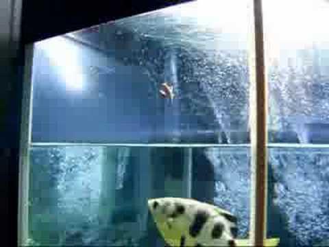 Archer fish spitting