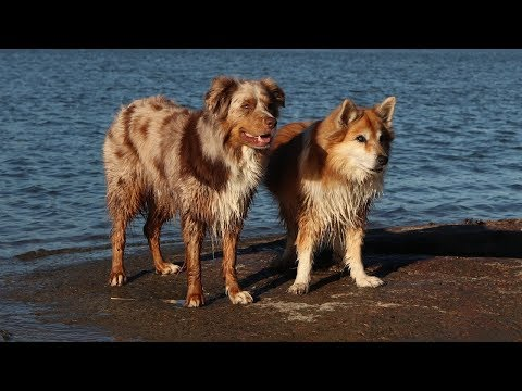 Dogs in the Summer Sunset | Australian Shepherd & Icelandic Sheepdog
