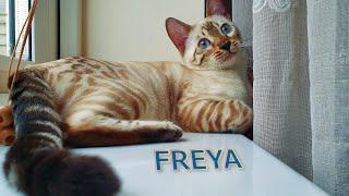 Meet Freya the Snow Lynx Bengal