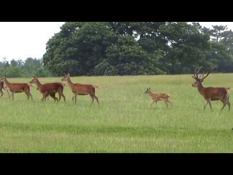 Deer In The Grounds Of Raby Castle, Staindrop 2