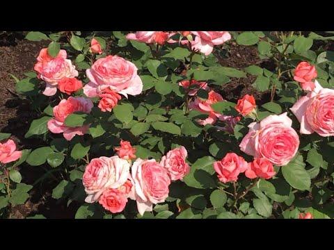 Розы. Исполнение желаний... Laurent Cabrol, Cyclamen Pierre de Ronsard, Schloss Eutin.