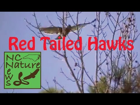 Red Tailed Hawks | NC Nature News