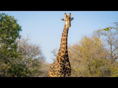 Gentle Giants Safari – South Africa, Kapama Private Game Reserve – DJI Osmo+