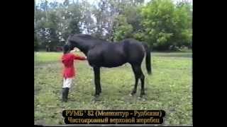 Русская верховая. Выводка в Старожиловском кз 1996