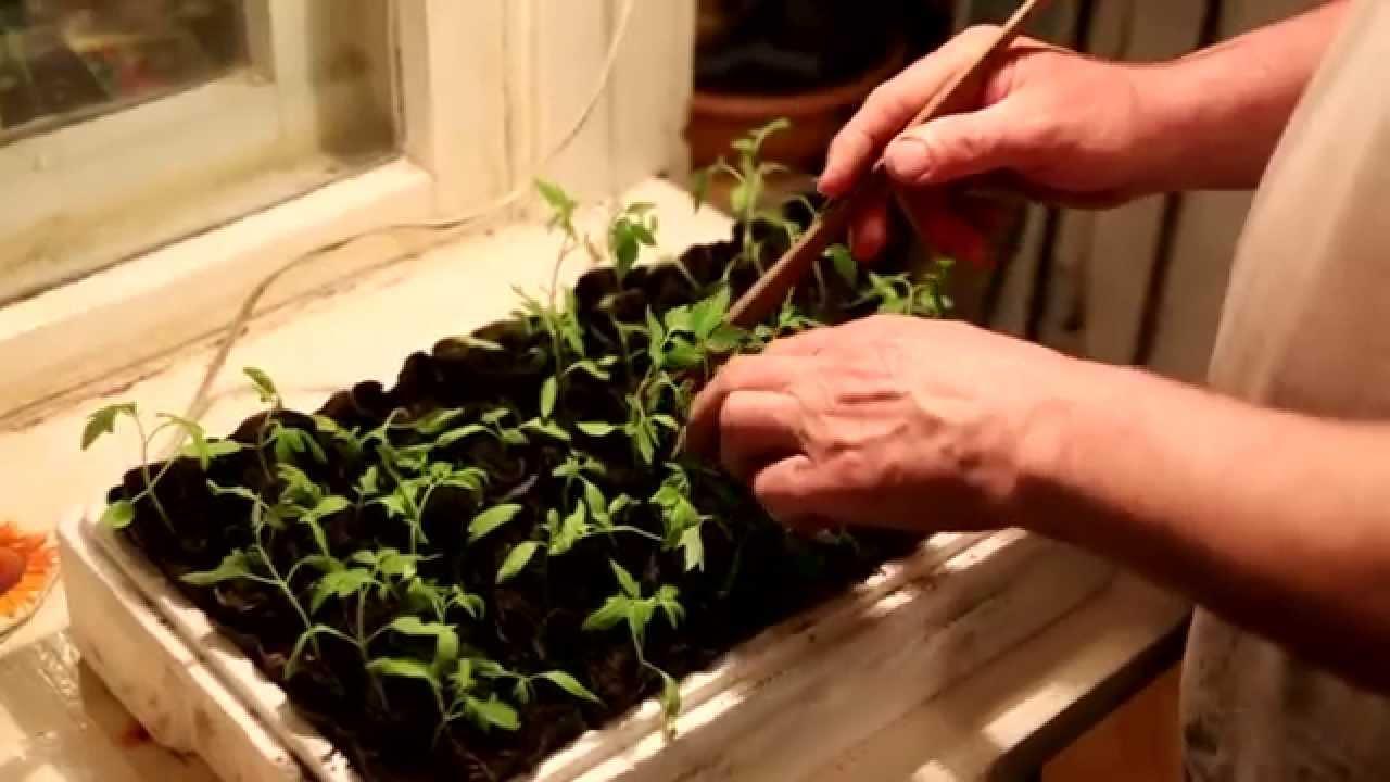 Как посадить рассады помидорами 20