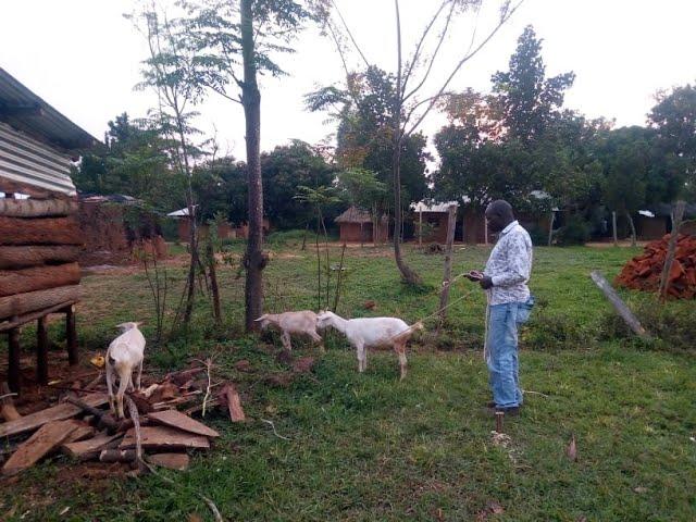 Goats Eating Siaya Kenya - Global Mission for Children