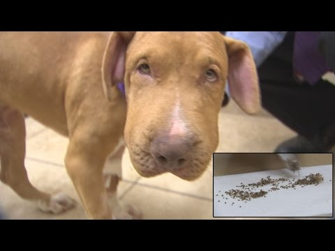 Puppy Survives Being Stung By Over 400 Bees