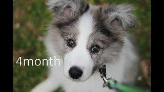 ボーダーコリー ブルーマール 4ヶ月 イグナです。 border collie. blue ...
