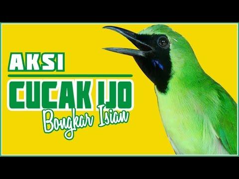 download suara cucak ijo gacor isian
