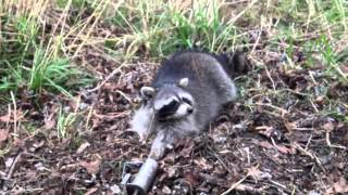 Day 6 On the Trap Line K3 Hunting and Trapping Strawberry Mashmello Raccoon Duke DP