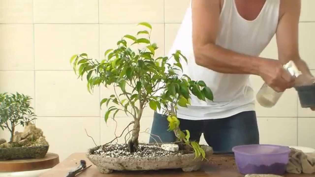 Bonsai Ficus P Iniciantes Bonsai Com Menos De 50 Reais Youtube