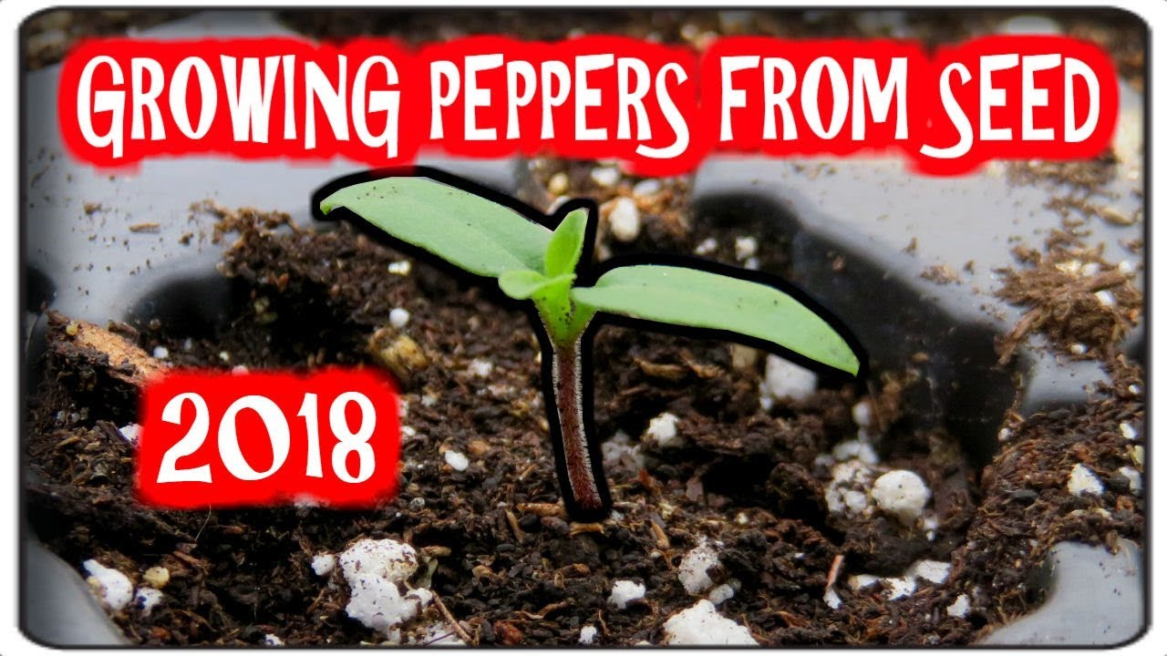 Planting peppers for seedlings in 2018: how and when to plant peppers for seedlings 80