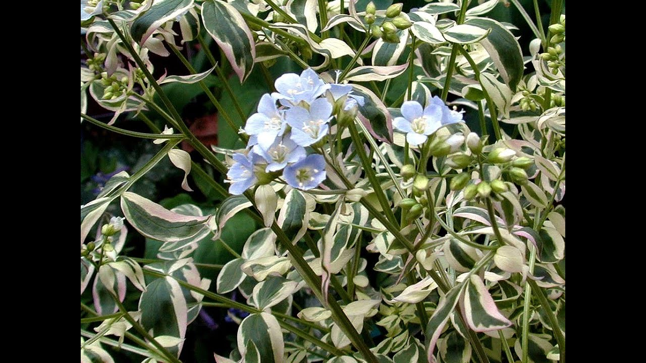 Best Perennials For Shade Polemonium Stairway To Heaven