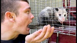 Potter the Opossum...