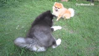 Pomeranian and Alaskan Malamute puppy play time.. thumbnail