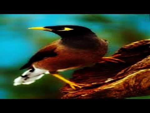 Josssss Tenan, kicauan alami dari suara jalak kebo yang membuat tertarik pada burung jalak suren.