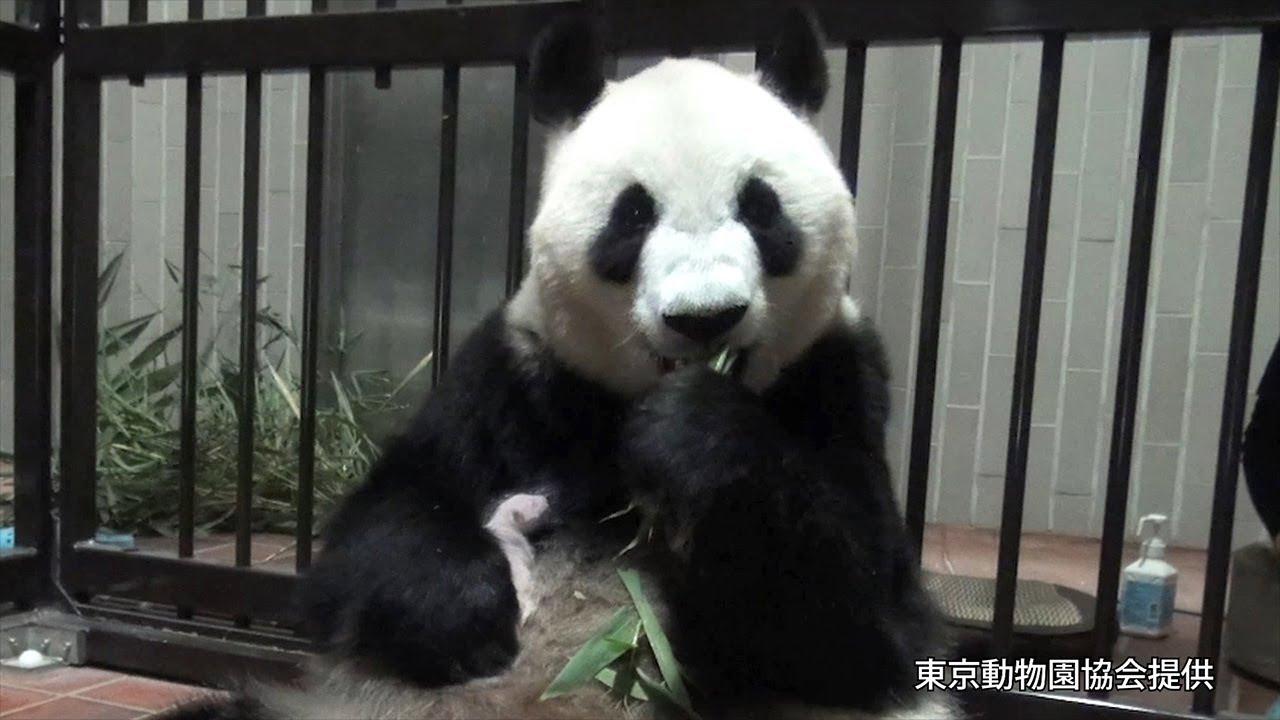 パンダの赤ちゃんを抱きながらタケの葉食べるシンシン 生後8日目 ...